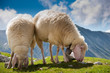 beautiful couple of sheep grazing