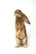 Quadro grey rabbit