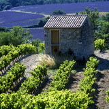 Fototapety vineyard and lavender field, Provence, France