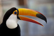 The toco toucan which opens the mouth