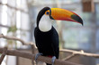 The toco toucan which stops at a tree