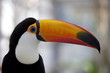 By a white back, a bill is a beautiful toco toucan