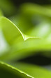 Nature Background - Green leaves