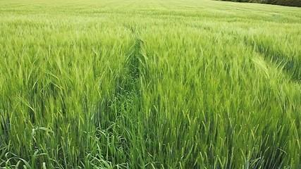 trace de tracteur dans un champ de blé