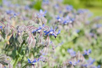 flowering borage ( borago officinalis)