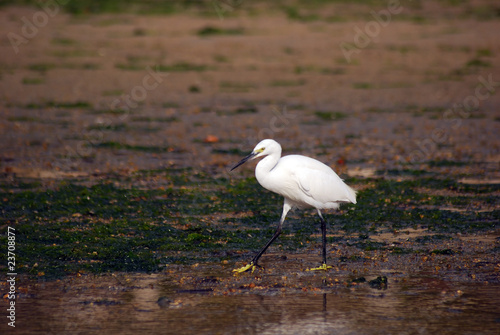 Little egret, Miyajima, Japan