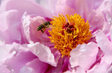 A Bee hovering while collecting pollen poster