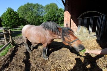 Heavy Horse Eating