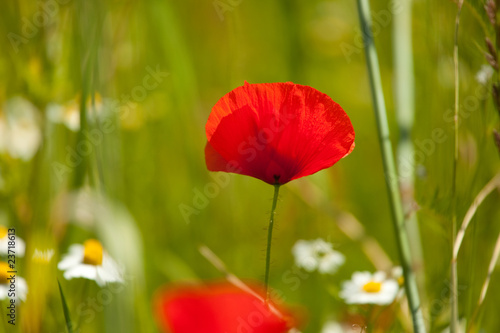 fototapete blumen xxl mohn im kornfeld. Black Bedroom Furniture Sets. Home Design Ideas