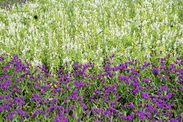 fiori bianchi e viola