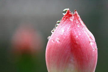 The shot of lotus leafs and the bud.