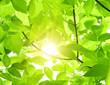 roleta: Green leaves