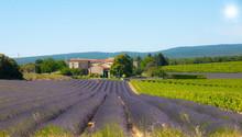paysage de lavandes et vignes
