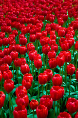 Sea of red tulips