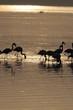 Lesser Flamingoes at sunrise, lake Nakuru, Kenya