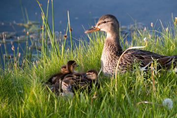 Duck Family on Shore