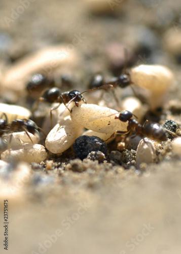 Foto op Canvas Dragen Ameisenvolk mit Larven im Ameisenbau