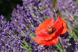 Fototapety Corn poppy between lavender