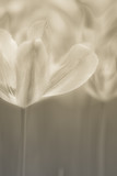 Fine art of close-up Tulips, blurred and sharp - 23758284