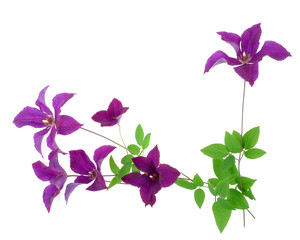 clematis floral border