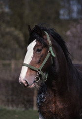 portrait du cheval de trait clydesdale