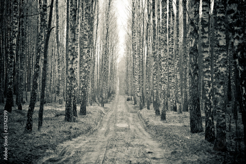 Birch black and white forest - 23762299