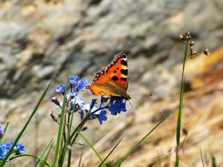 Papillon, rocher, myosotis