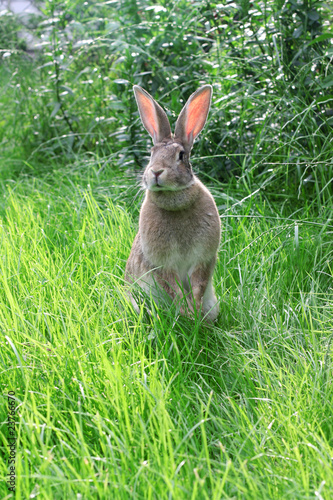 rabbit  on grass.