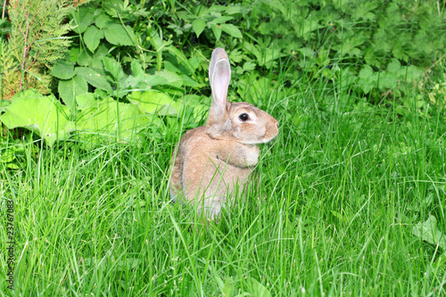 rabbit walks on a green grass.