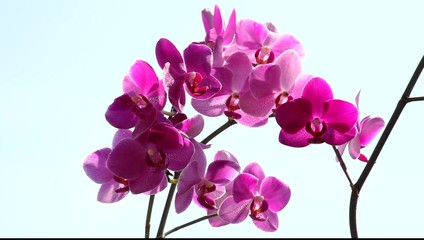 Orchideen - Phalaenopsis II