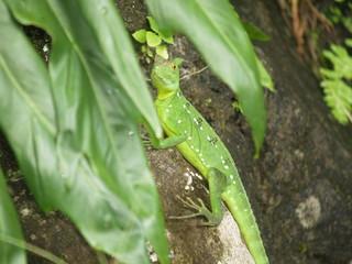 basilisco verde Costa Rica