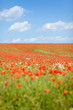 Mohnblüten auf einem Feld