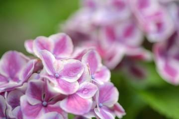 珍しい紫陽花