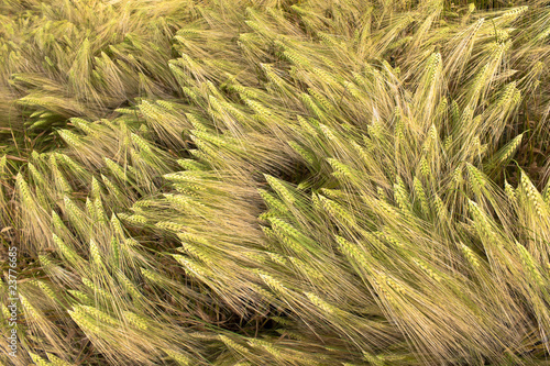 Many wheat
