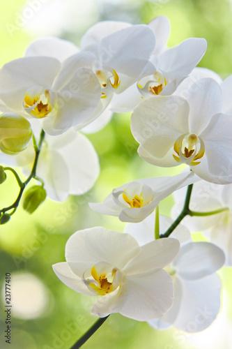 kwiaty-bialego-storczyka