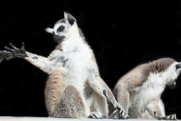lémuriens
