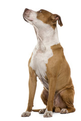 American Staffordshire terrier, 9 years old, sitting