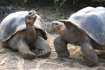 Galápagos-Riesenschildkröten