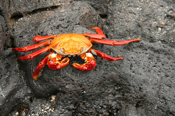 Rote Klippenkrabbe auf Galápagos