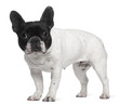 French Bulldog, 8 years old, standing