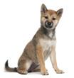Shiba Inu puppy, 5 months old, sitting