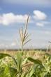 Alberta, Canada; Top Of A Corn Plant