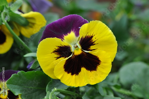 Fleur jaune et violette photo libre de droits sur la banque d 39 images image 23796615 - Image fleur violette gratuite ...