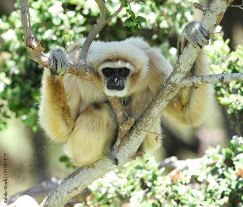 Foto op Canvas Aap monkey, white handed gibbon or Lar Gibbon , thailand
