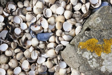 An Abundance Of Seashells Beside A Rock