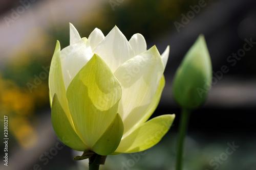 ninfea fiori 306