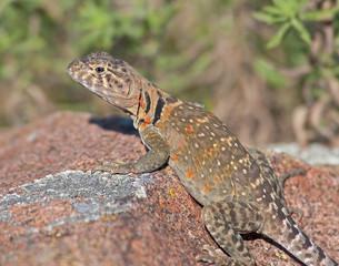 Collared Lizard 10