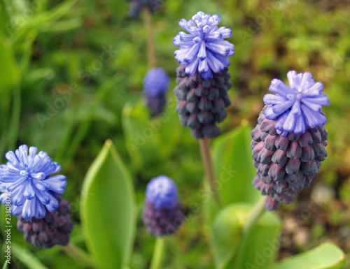 Tiny Cluster Flowers Grape Hyacinths in a Garden