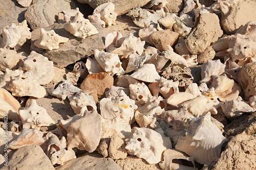 Large Group of Conch Shells on Grand Turk Island, Caribbean