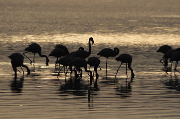 Lesser Flamingoes at sunrise, lake Nakuru, Kenya